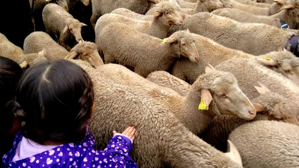 transhumancia-madrid-a-festa-das-ovelhas